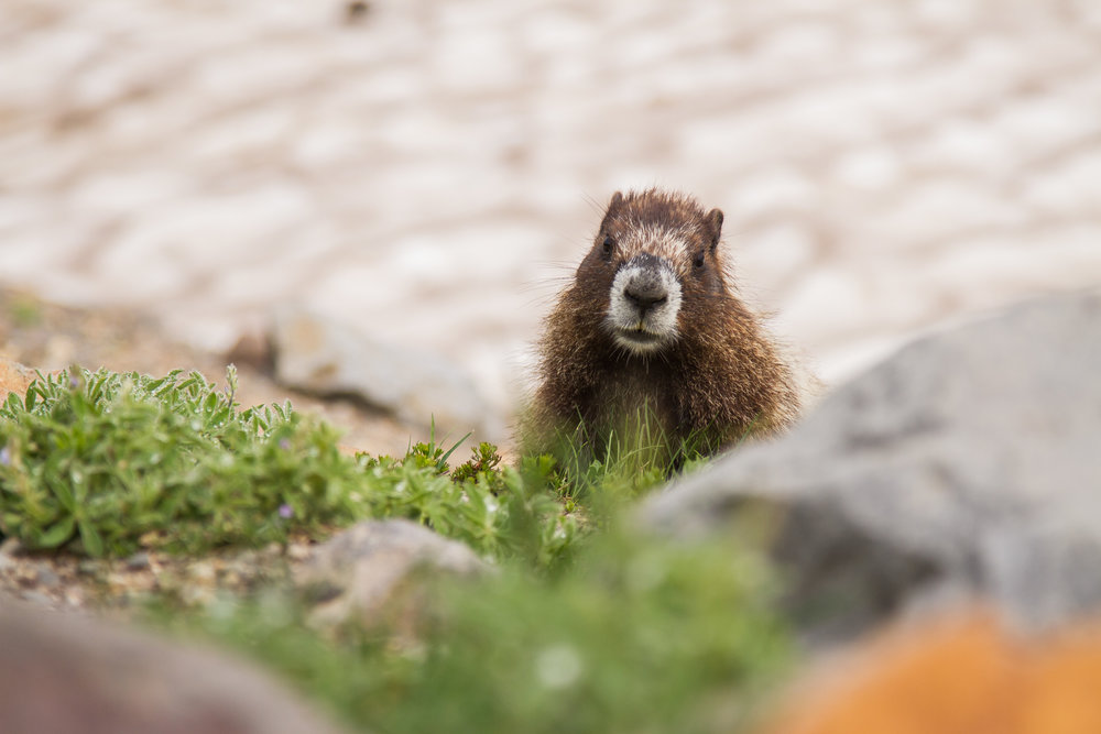 A curious marmot peeps from behind a rock at hikers on the trail just a few feet away. Thankfully, most passerby's were respectful and proceeded with caution around the marmot so as not to disturb its territory. © Kelly Compton