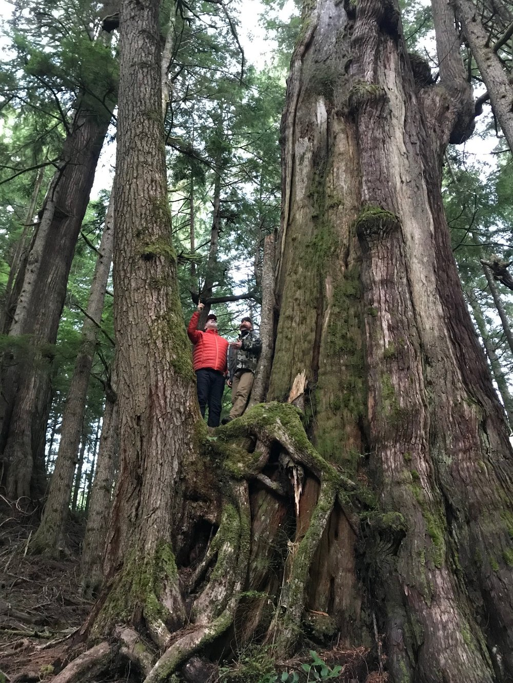 A few forest giants remain at Ellsworth Creek preserve, survivors of the logging days and an inspiration for us to understand what this forest should be.