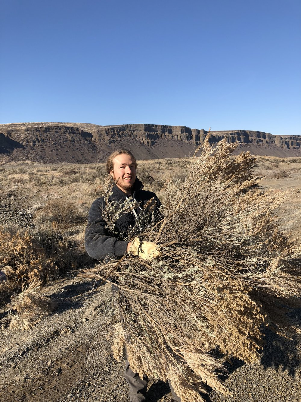 Jon Cowan collecting sagebrush to reseed a burned area. Photo by Alfonso Orozco.
