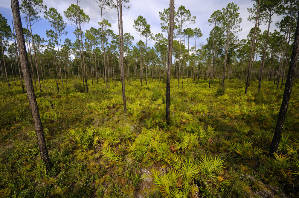 Longleaf pine flatwoods once stretched from eastern Louisiana to the Florida Panhandle, but today only 1-5% of the original ecosystem remains. Photo by Mark Conlin.
