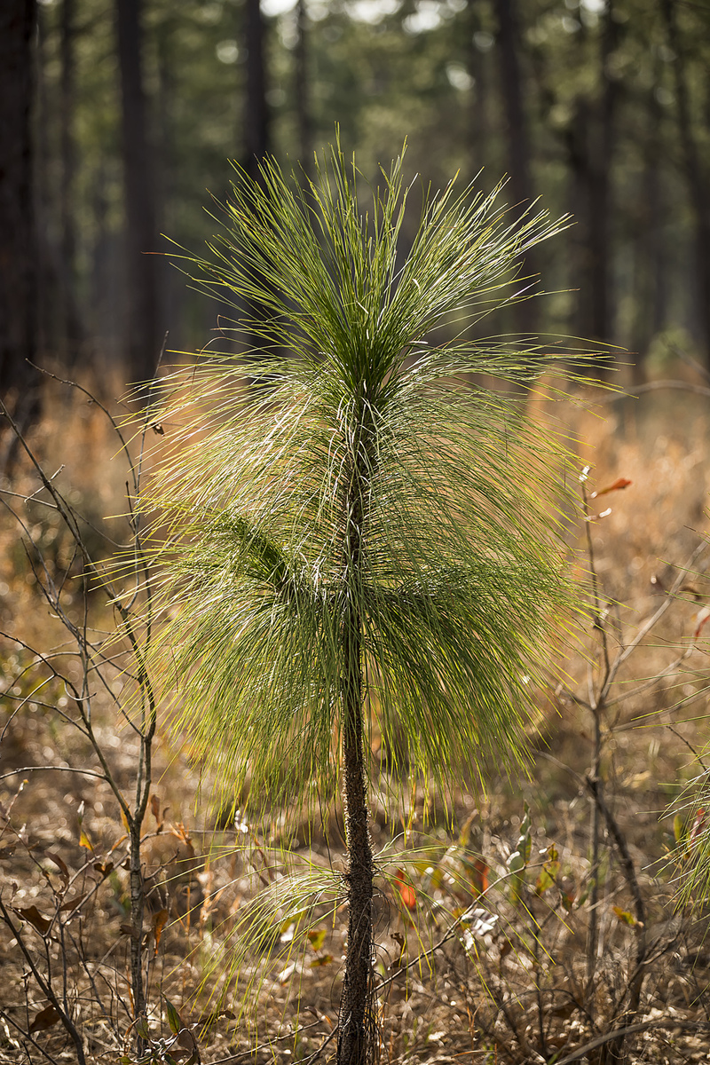 A young longleaf pine. Photo by Kenny Braun.