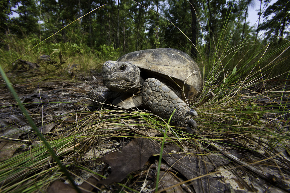 TNC is helping restore the gopher tortoise in flatwood savannas, a keystone species whose burrows provide habitat and cover for a variety of other animals. Photo by Karine Aigner.