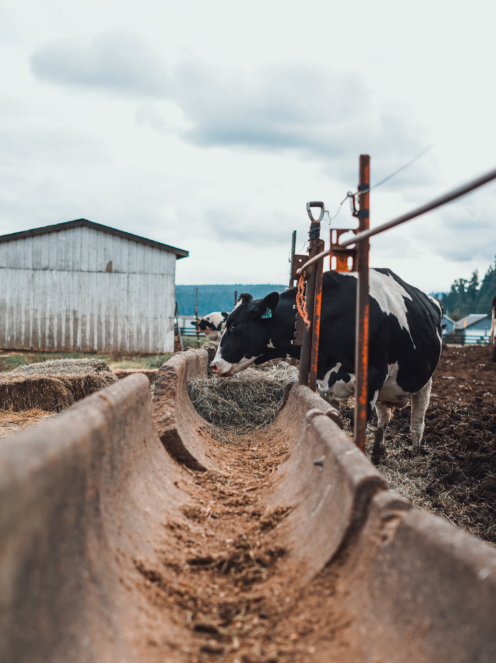 One of Ben Smith's Holstein cows. Photo by Courtney Baxter / TNC
