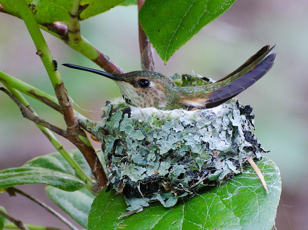 Rufous hummingbird. © Ken Salzman