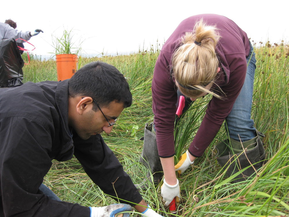 Removing Spartina grass at Port Susan Bay. Photo by The Nature Conservancy.
