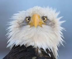 eagle crazy hair.jpg