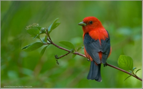 Scarlet tanager (used with permission,    www.raymondbarlow.com    )