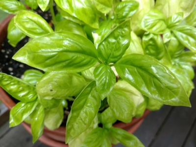 Fresh basil green.