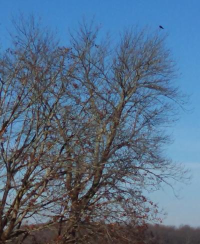 Single Raven.jpg