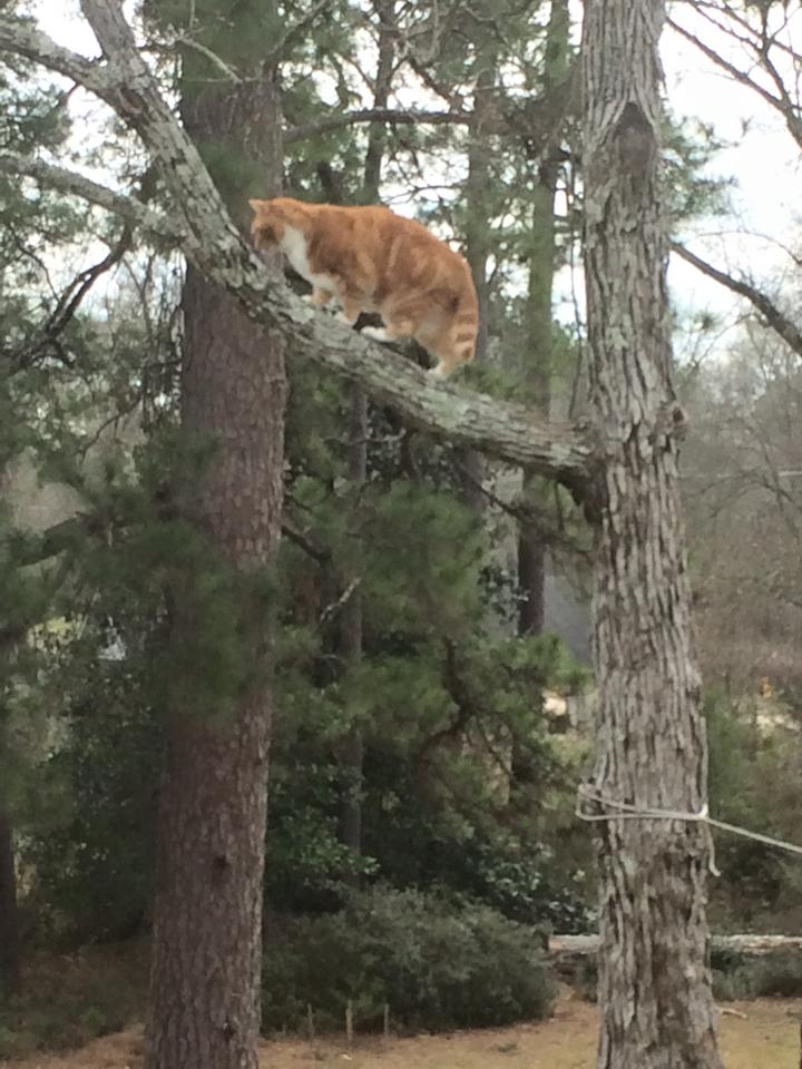 Friendly, a city cat in the country, is learning to navigate trees in the back lot of the schoolhouse.   She's able to get up without problems, but usually requires a helping hand to get back down.