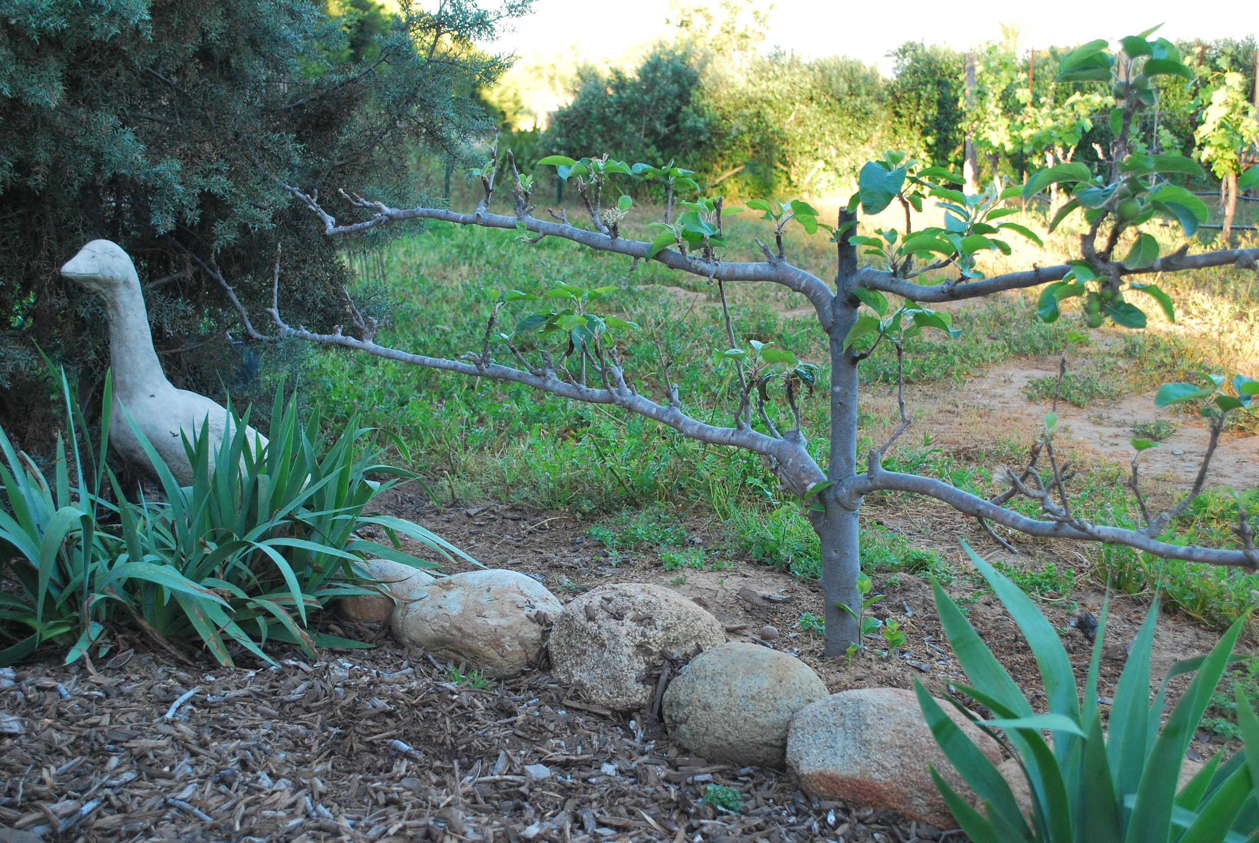 Espalier Fruit Trees Le Blog Bonnie Jo Manion