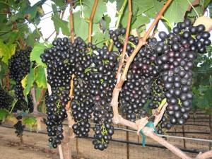 Syrah Grapes Waiting Harvest