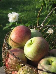 Just Picked Fuji Apples