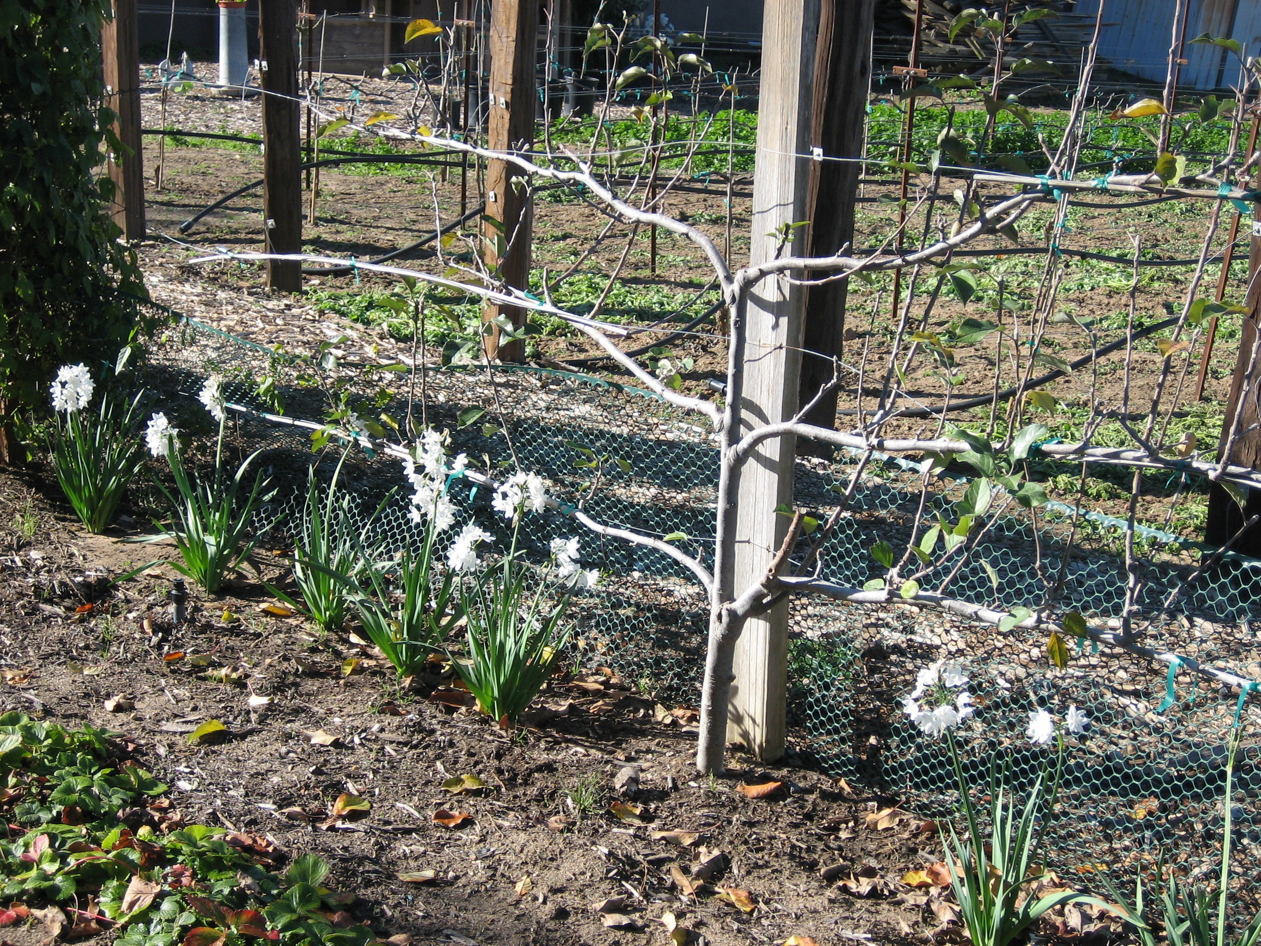 Dormant espaliered Fuji Apple tree in Wintertime