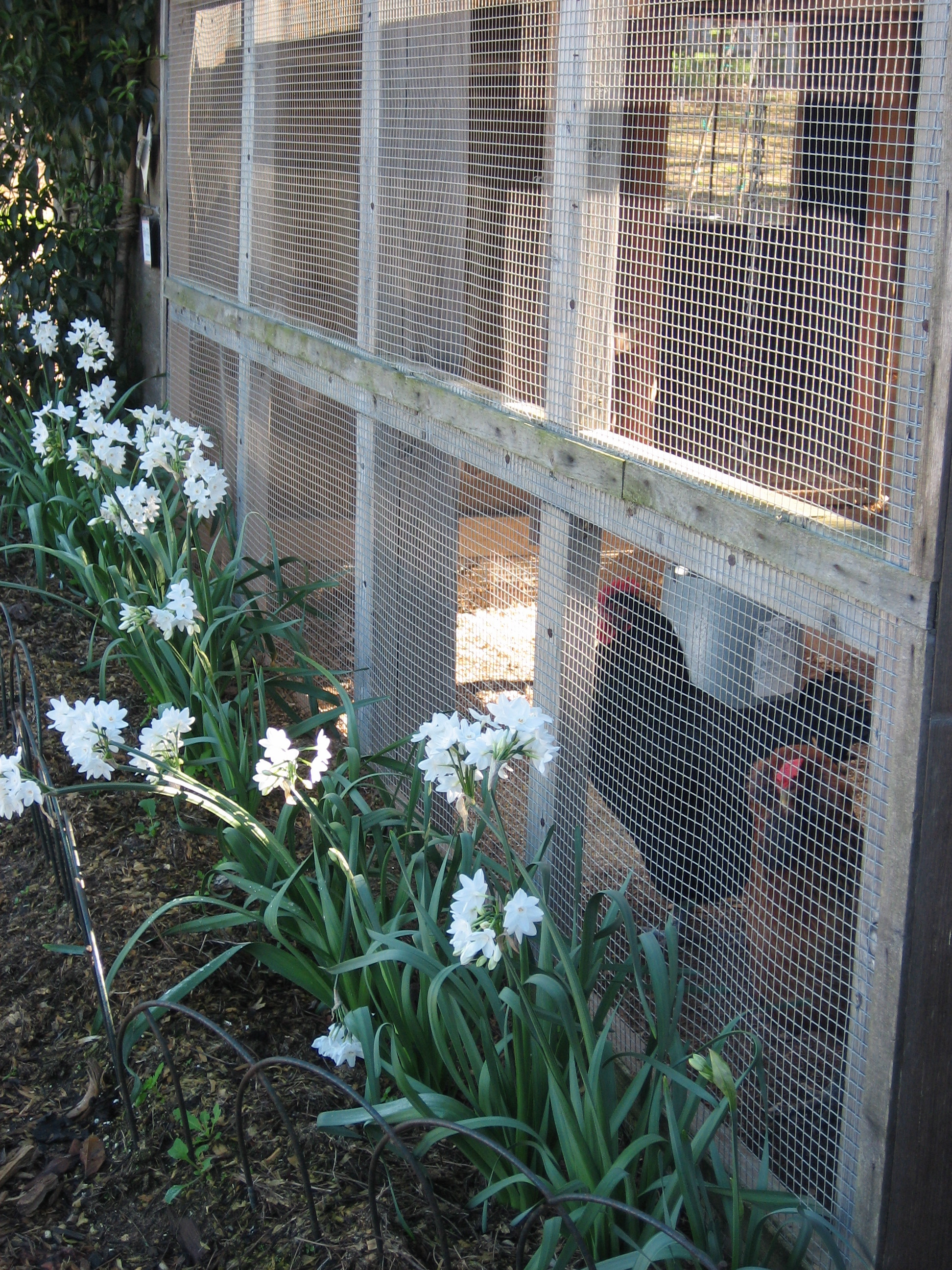 Narcissus Bulbs Blooming Alongside Chicken Coop