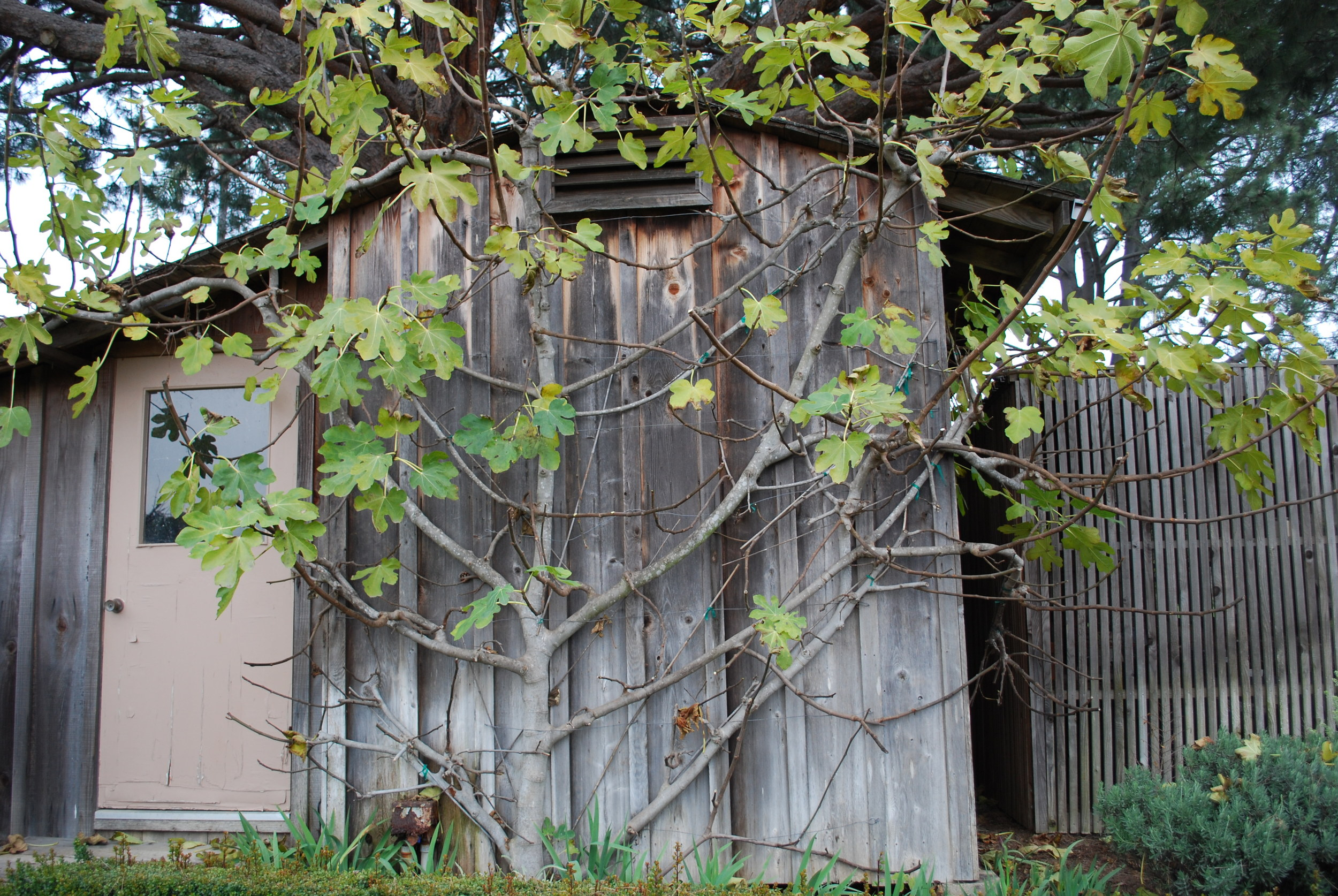 Black Jack Fig Tree Going Dormant, Fan Espaliered on Storage Shed