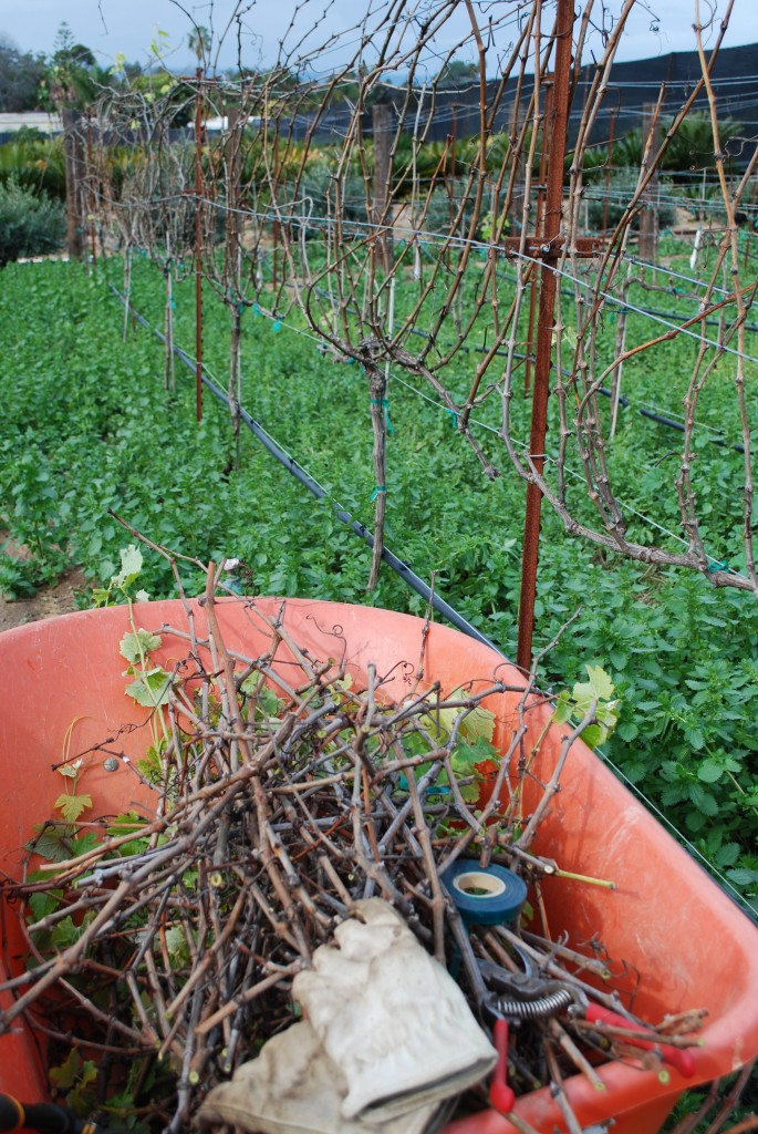 Backyard Vineyard in Winter