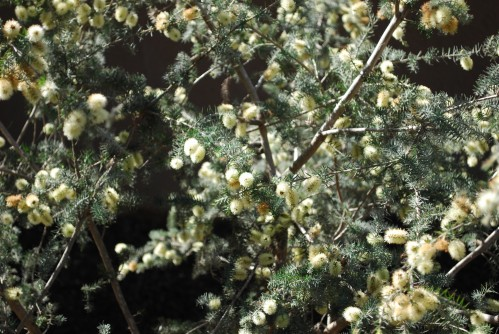 Close-Up of Blooming Grey Honey Myrtle Tree