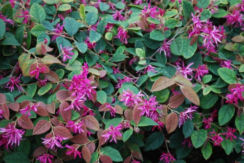 Blooming Razzleberry Ruby Shrub