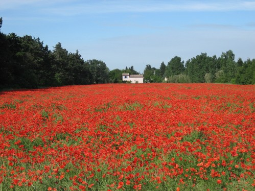 Magic of Provence, Red Poppies Blooming in May