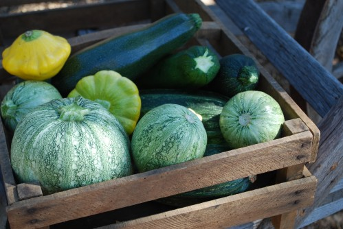 Squash Bonanza From The Garden