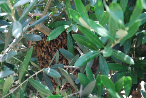 Swarm of Honey Bees Resting
