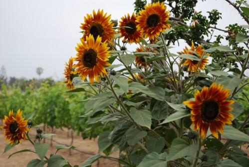 Drop Dead Red Sunflowers