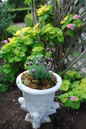 Springtime Pelargonium Limelight