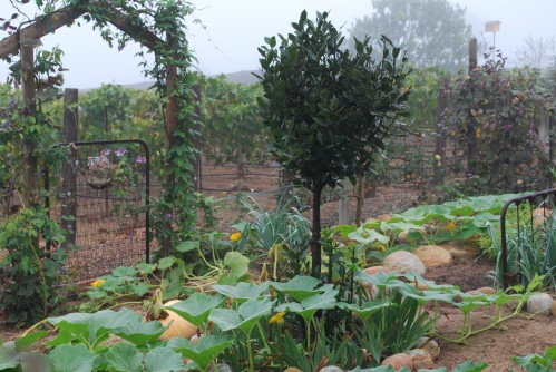 Early Morning In Potager, Bay Laurel Tree Centerpiece