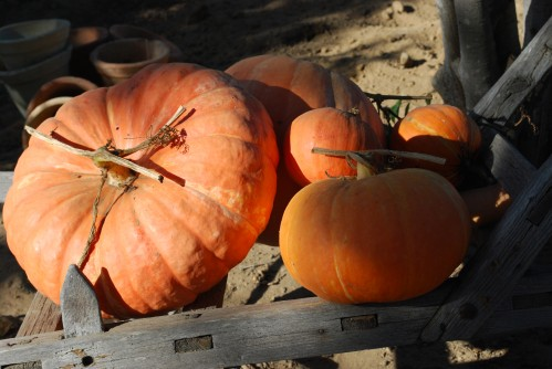 Home-Grown Pumpkins Awakening To  A New Day