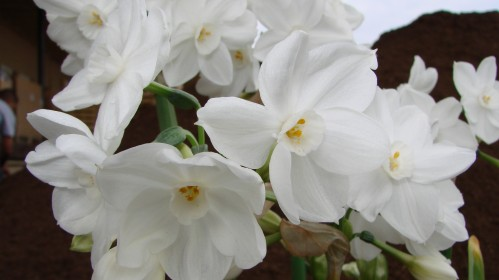 Perfect Paperwhites, Photo Courtesy of Easy To Grow Bulbs