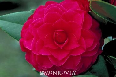Nuccio's Bella Rossa Camellia, Photo Courtesy of Monrovia