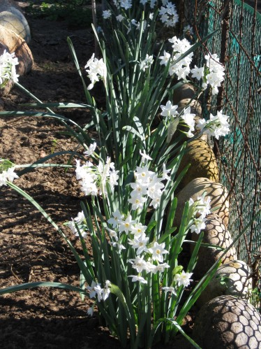 Blooming Paperwhites Dancing In The Sunlight
