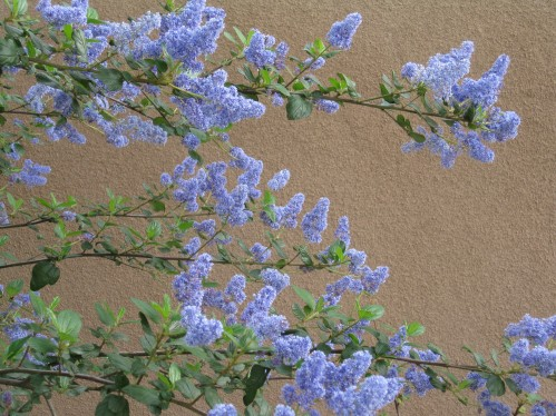 Close Up of Ceanothus Ray Hartman