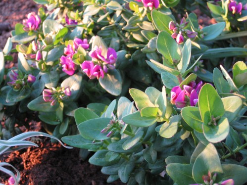 Dwarf Sweet Pea Bush at Sunset