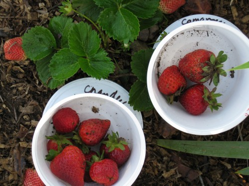 Home-Grown Strawberry Comparison