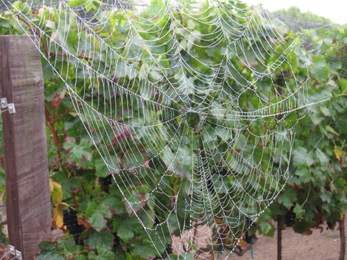 Spider Web Framed by the Vineyard