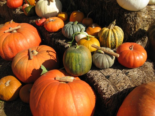 Prize Pumpkins Get Names At Lavender Hill Pumpkins