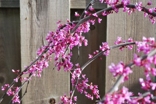 Lavender Twist Redbud Tree in Spring Time