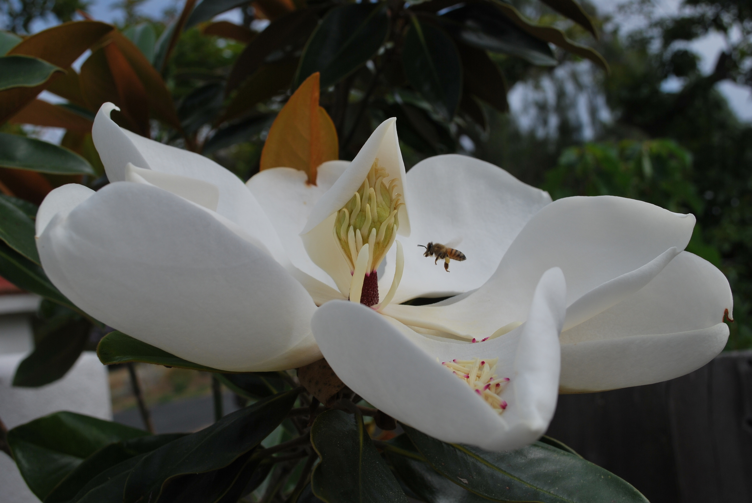 Magnolia Little Gem Tree Bonnie Jo Manion