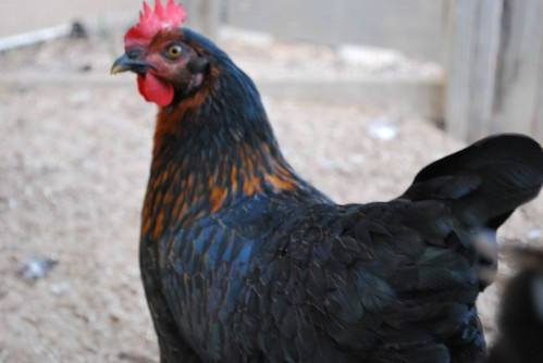 My Dark Star Hen, Copper Penny