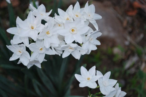 Narcissus Winter Beauty