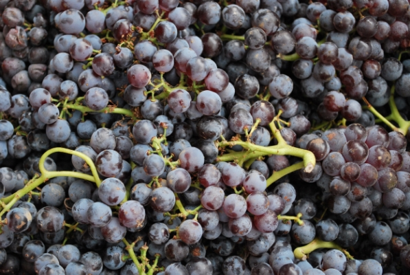 Harvested Estate Syrah Grapes