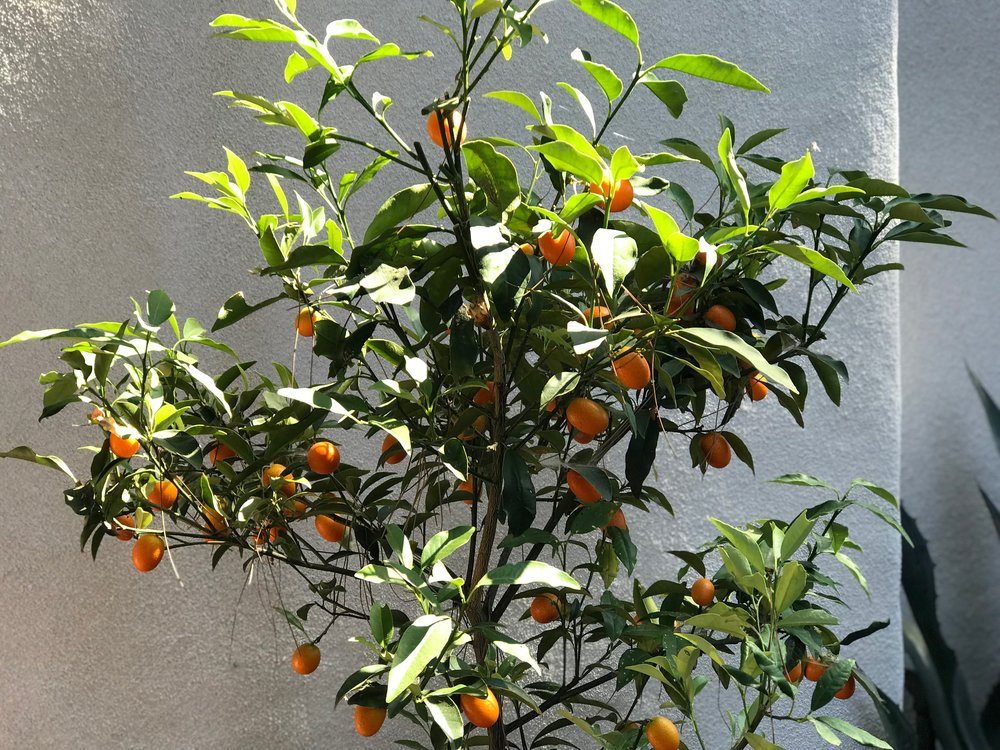Kumquat Trees Can Be Grown in a Container