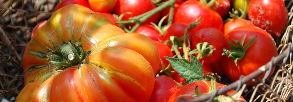 tomatoes in wire basket2.jpg