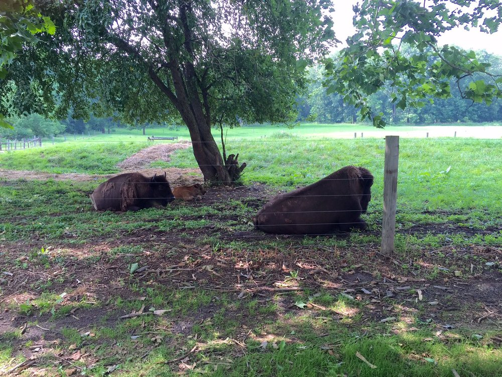 bison laying down in meadow.jpg