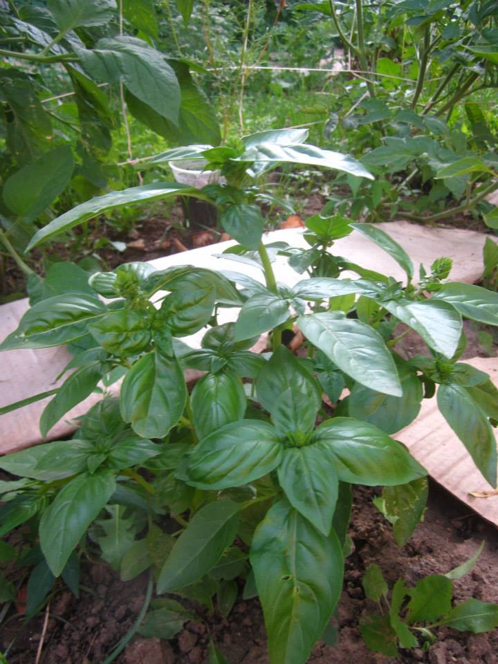 Fresh basil from the garden