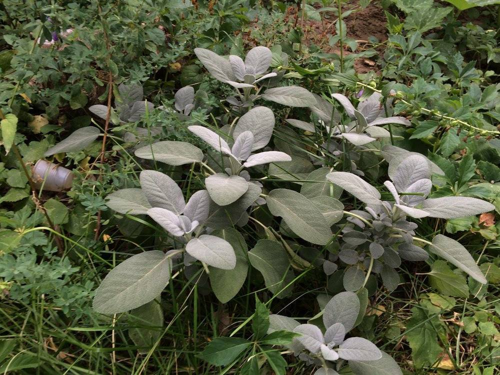 Sage is an herb that is just as useful in the medicine cabinet as the kitchen.