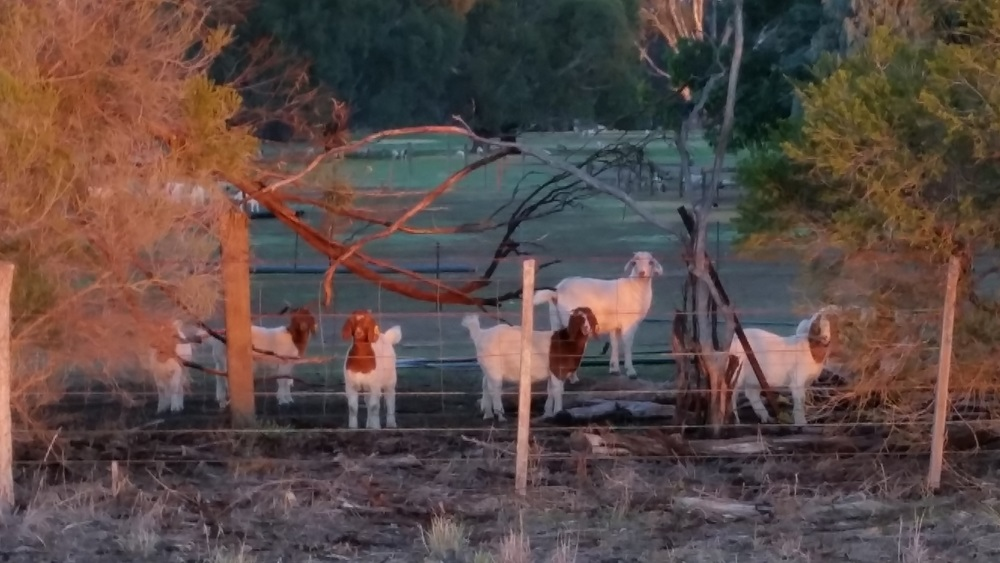 Walked up to say hello to our goat friends up the road who always very obligingly stand and look at us while I take their picture!. You can see the golden light from the sunrise lighting up their bodies.