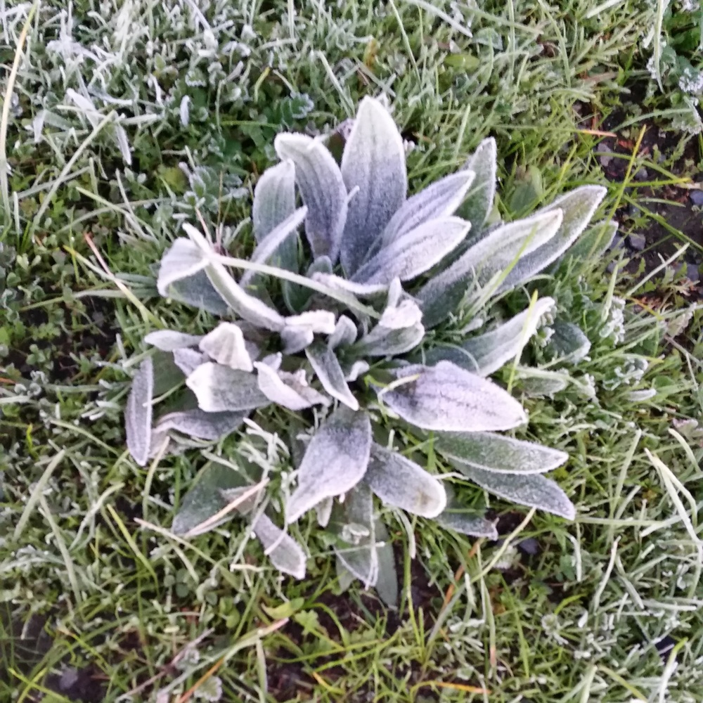 Today's frost making even the weeds look beautiful !